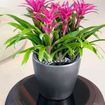 Table planter with colourful bromeliad.