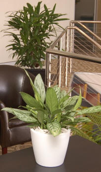 A white cone shaped desk unit with Aglaonema