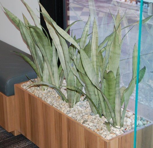 Timber planter box with Mother-in-law Tongue plants and white pebbles.