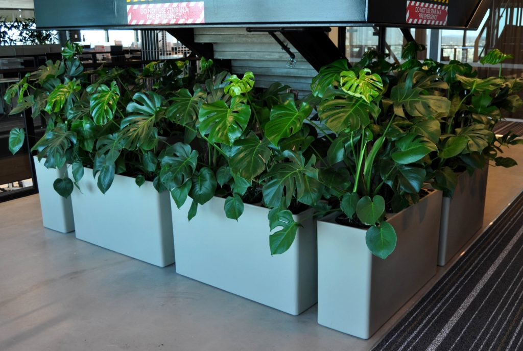 An image of a Monstera Deliciosa in Urban 10 planters in a Brisbane office.