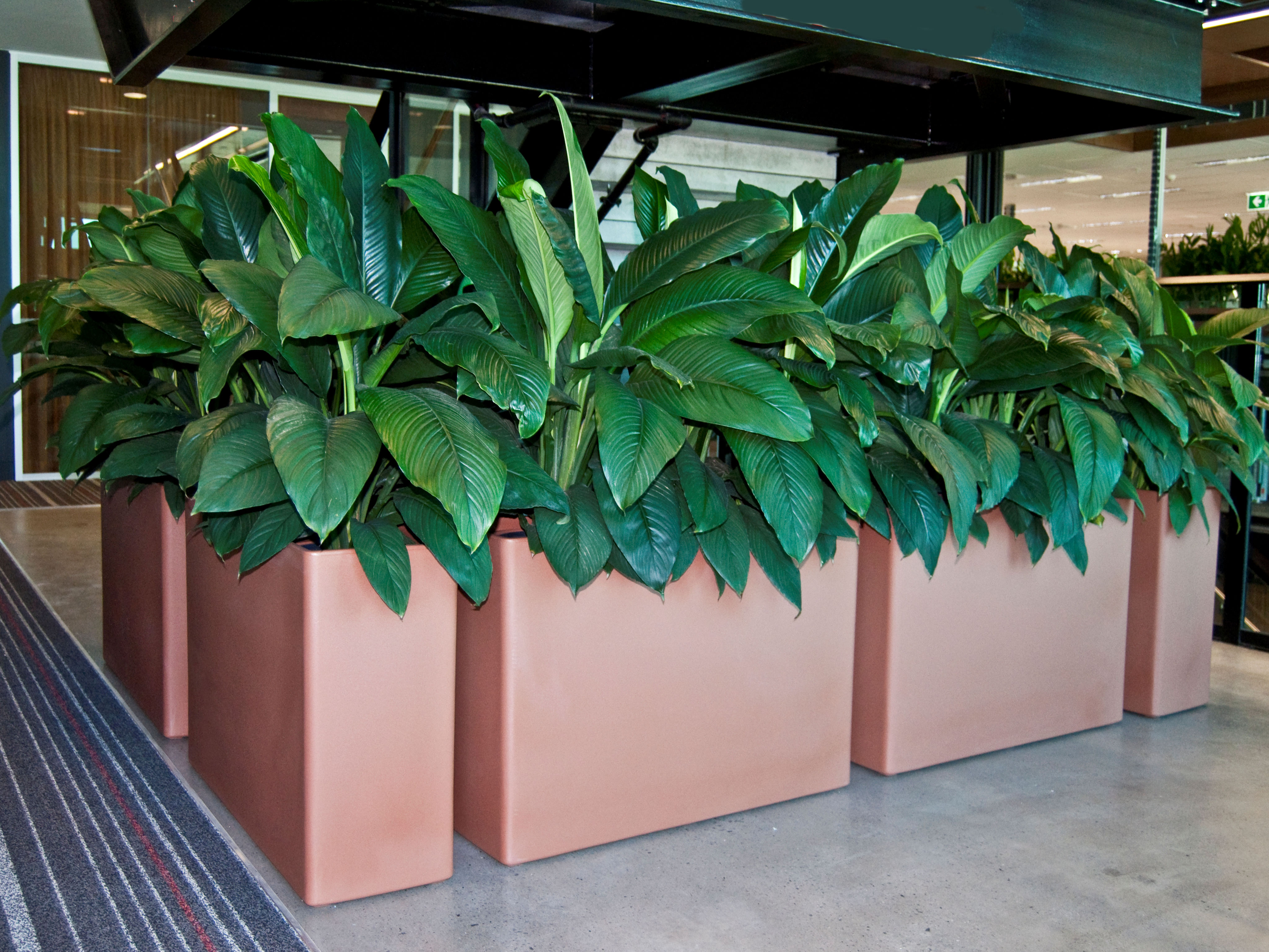 Showing tan coloured Urban 10 Planters with Spathiphyllum Sensations.