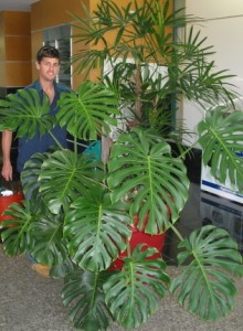 Monstera deliciosa being serviced at King Street Caboolture