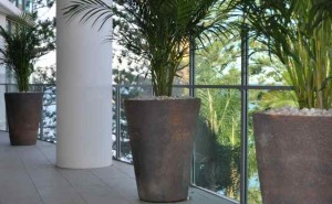 Three ceramic planters with Golden Canes overlooking the sea at Redcliffe