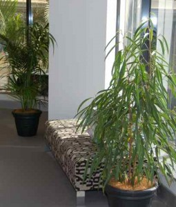 Ficus Alii in standard vases in a Nerang office