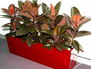 Ficus in Red Planter Ipswich Qld