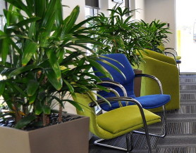 Rhapis Palms in tall planters with Blue and Yellow seats