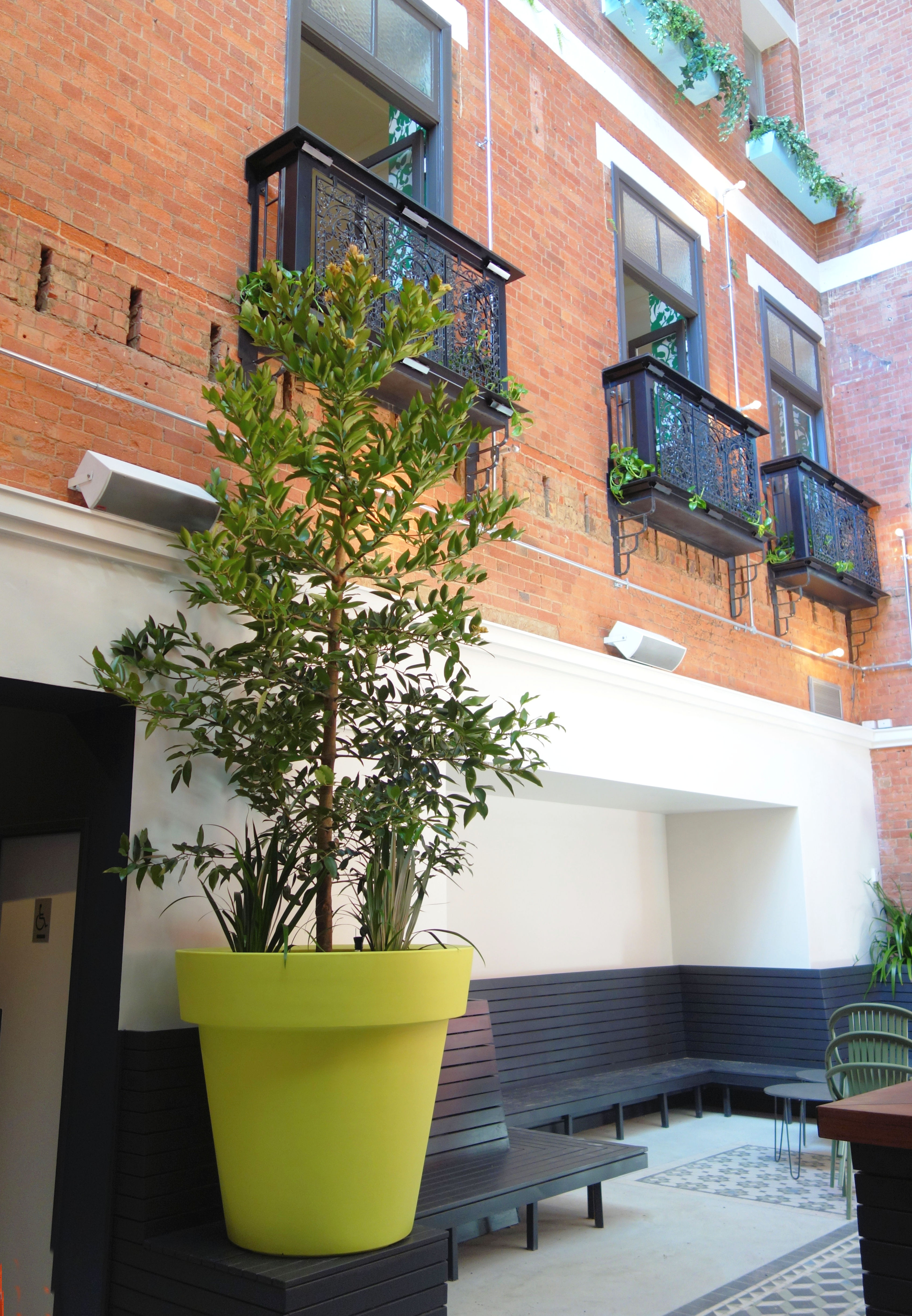 Showing a huge Diva Planter with a Kauri Pine in a courtyard.