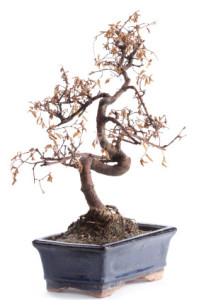 Dead bonsai in black planter