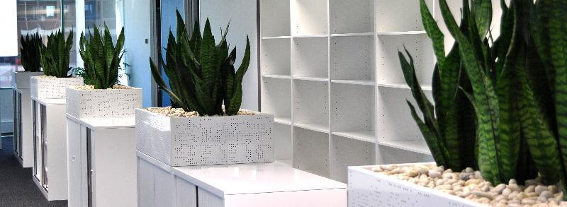 Showing white Tambour Cabinet Planters mass planted with Sansevieria Robusta