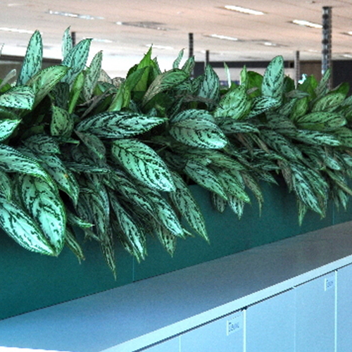 Urban 8 troughs in blue-green colour with overhanging Aglaonema evergreen.