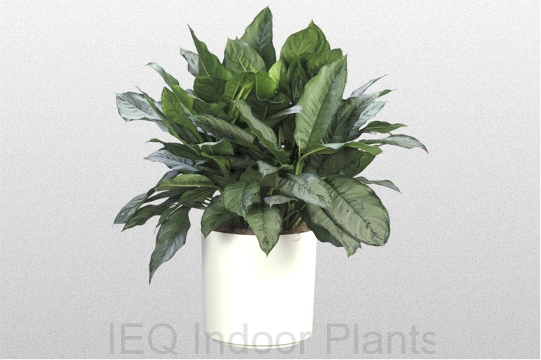 A speciment of Aglaonema 'BJ Freeman'
