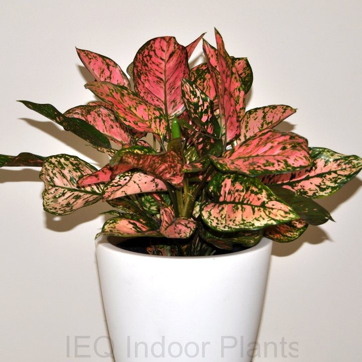 Showing a specimen of Aglaonema 'Thai Hybrid'