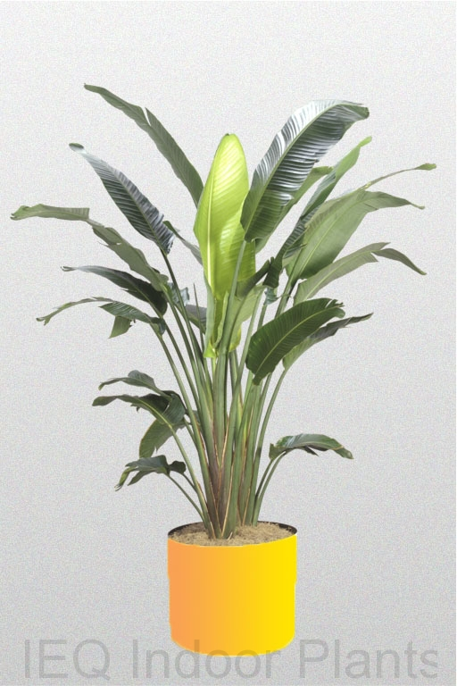 Showing a Strelitzia nicolai 'Bird of Paradise' in a yellow pot.