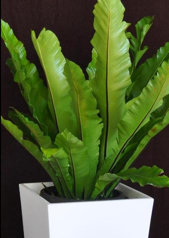 Showing a specimen of Asplenium 'Bird's Nest Fern' in a white wedge planter.