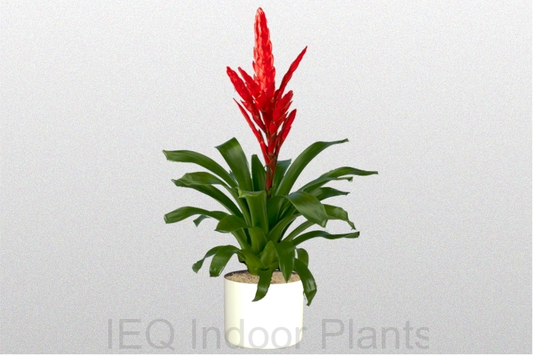 Showing a red flower on a Bromeliad Vriesea 'Poelmania'