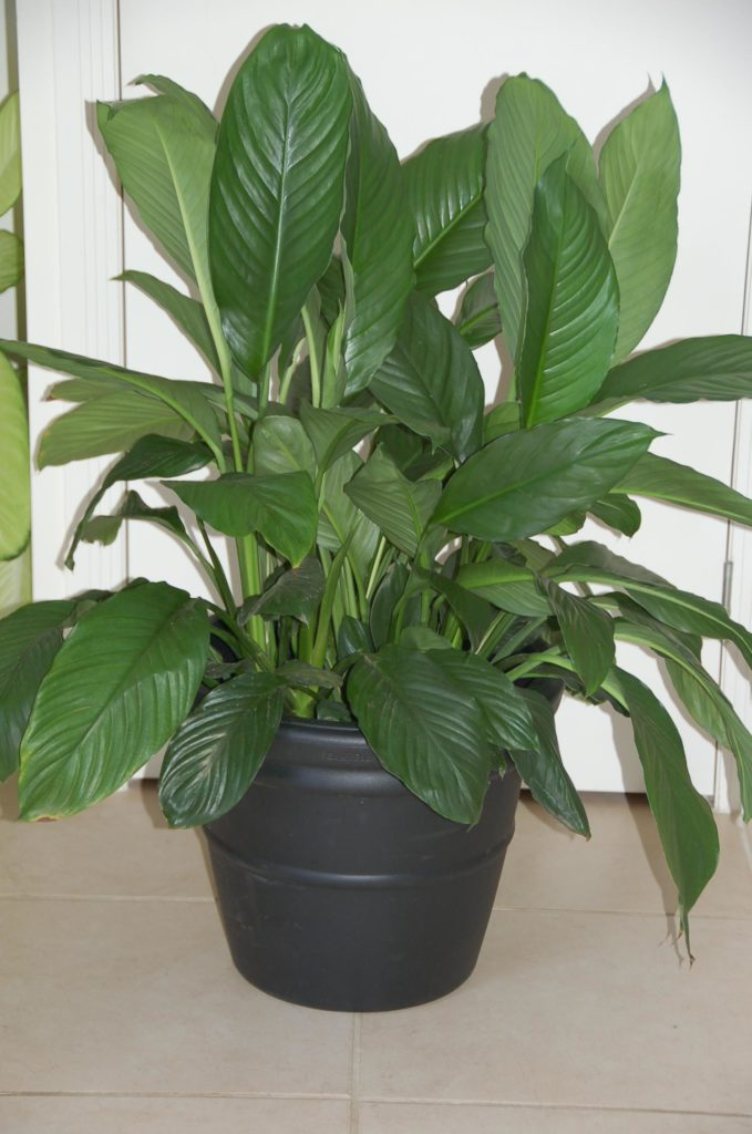 Traditional Vase in black with a Spathiphyllum.