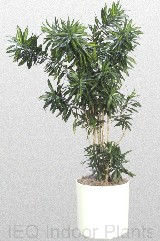 Showing a green foliaged Dracaena reflexa 'Variety'