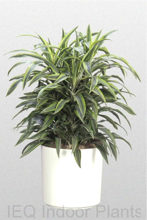 Showing a variegated Dracaena warneckii 'Lemon Lime' in a white pot.