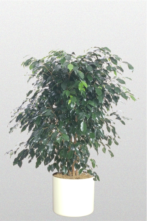 Showing a Ficus benjamina or small leaf fig in a white pot.