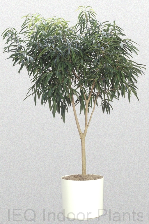 Showing a Ficus alii 'Standard' in a white pot.