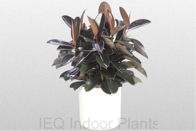 Showing a Ficus 'Burgundy' in a white pot.