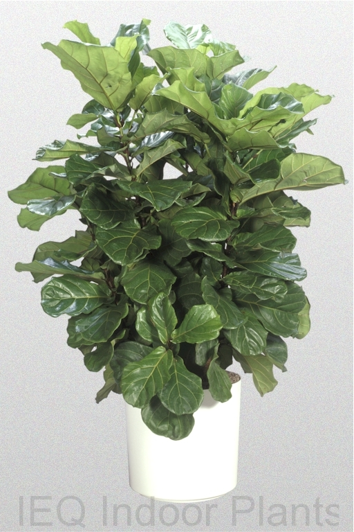 Showing a 'Fiddle Leaf Fig' in a white pot.