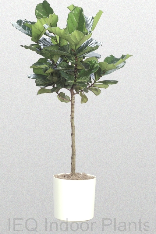 Showing a Ficus lyrata 'Fiddle Leaf Fig' standard in a white pot.
