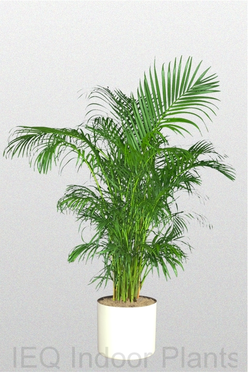 Showing a 'Golden Cane Palm' in a white pot.