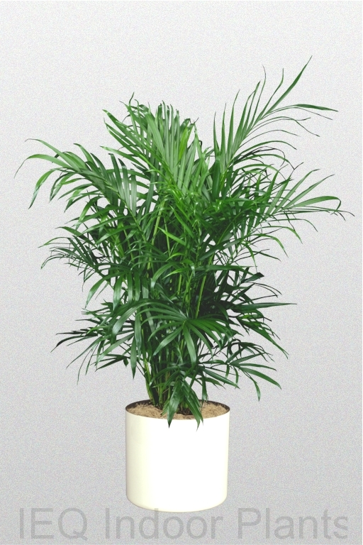 Showing a 'Bamboo Palm' in a white pot.