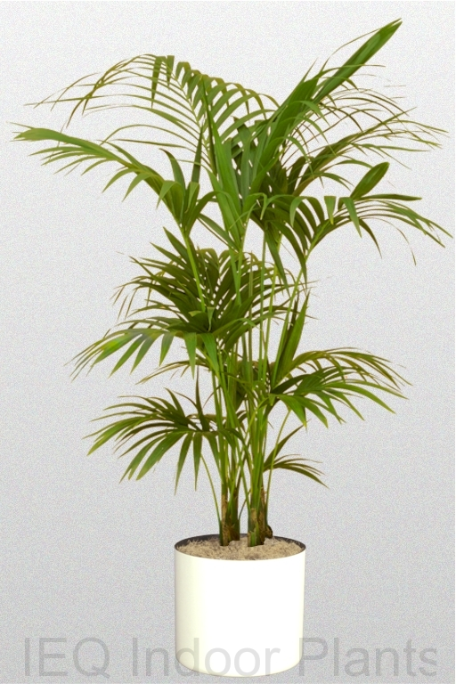 Showing a 'Kentia Palm' in a white pot.