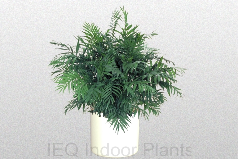 Showing a 'Parlour Palm' in white pot.