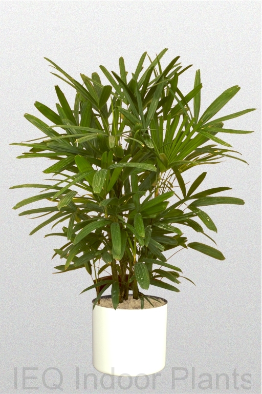 Showing a Rhapis excelsa 'Lady Palm' in a white pot.