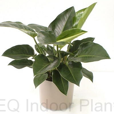 Showing a Philodendron congo in a white pot.
