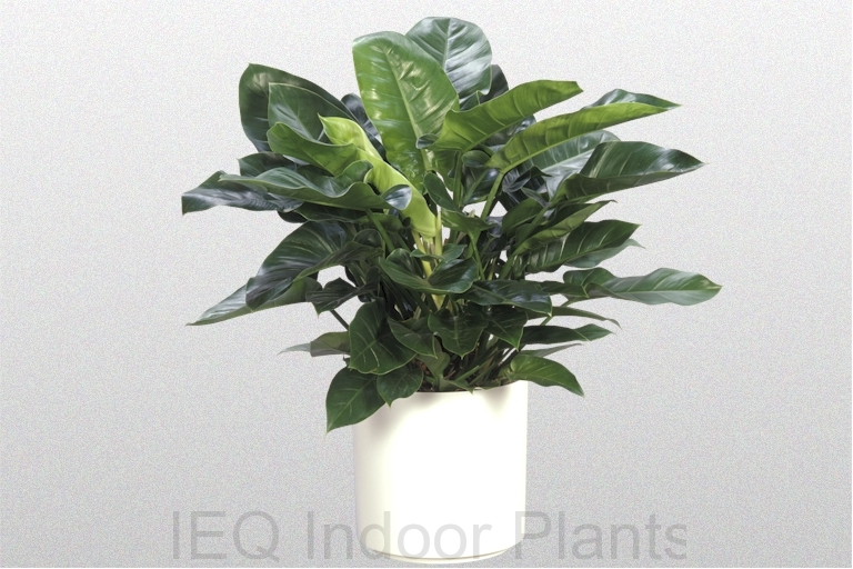 Showing a Philodendron 'Imperial Green' in a white pot.
