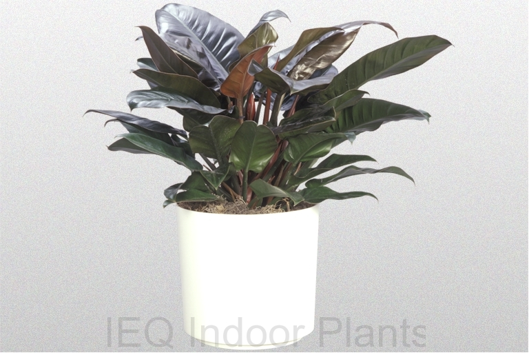 Showing an Philodendron 'Imperial Red' in a white pot.