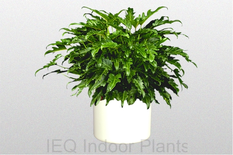 Showing a Philodendron 'Xanadu' in a white pot.