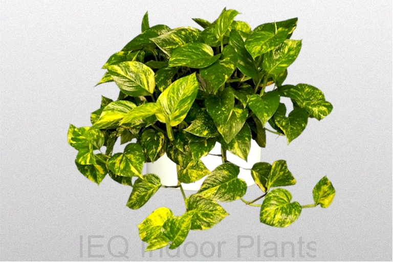 Showing the hanging foliage of 'Pothos Golden'.