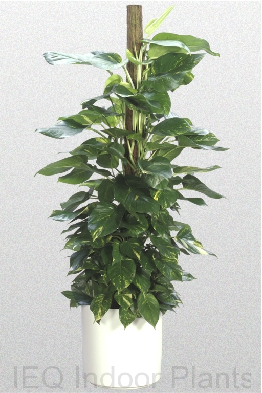 Showing a 'Pothos Golden or Devil's Ivy' growing on a totem pole.