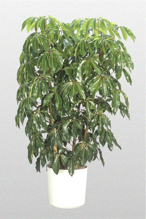 Showing a Schefflera Alpine Junior 'Dwarf Umbrella Tree' in a white pot.