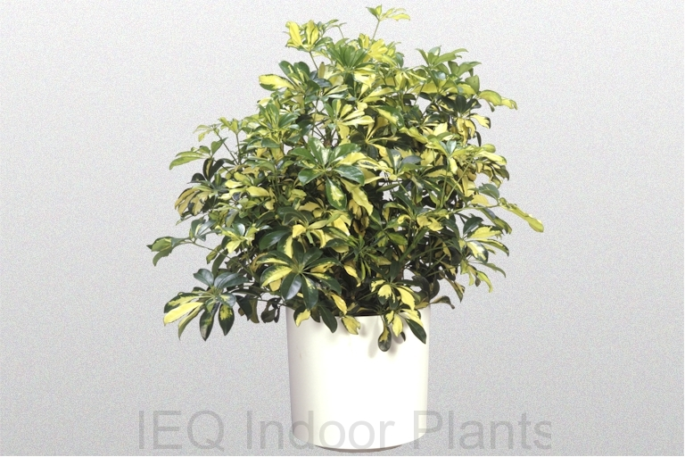 Showing a Schefflera arboricola 'Miniature Umbrella Tree' in a white pot.