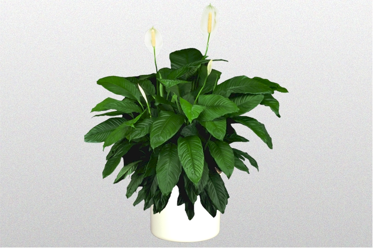 Showing a Peace Lily in a white pot.