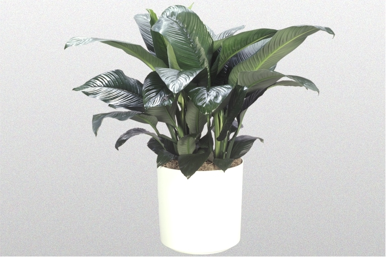 Showing a Spathiphyllum 'Sensation' in a white pot.