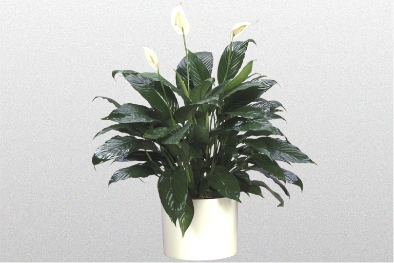 Showing a Spathiphyllum 'Taylors Green' in a white pot.