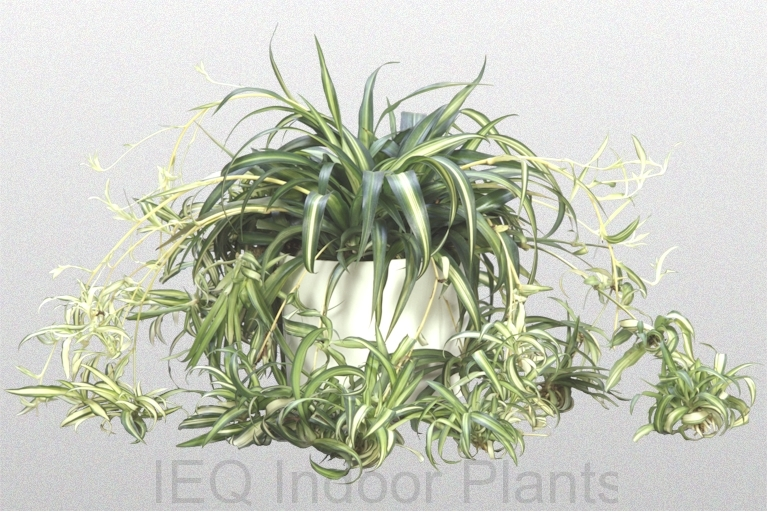 Chlorophytum comosum 'Spider Plant'