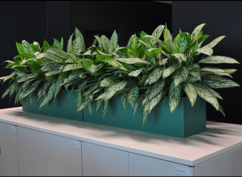 Showing blue Urban 8 trough with Aglaonema