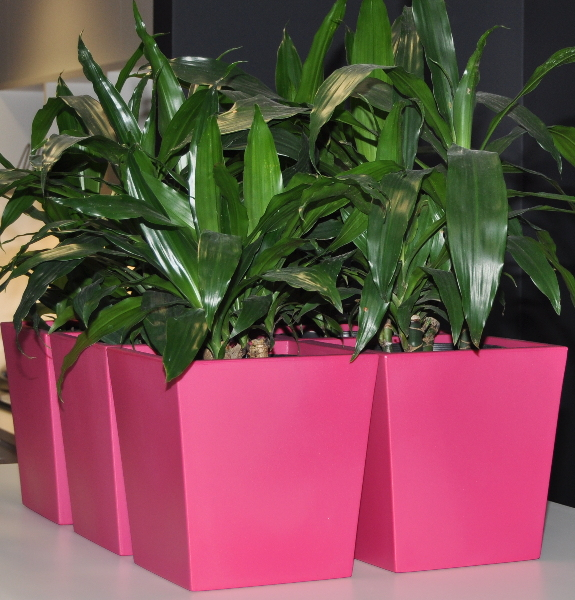 Showing 6 magenta Urban Table Wedges side by side with Janet Craig plants