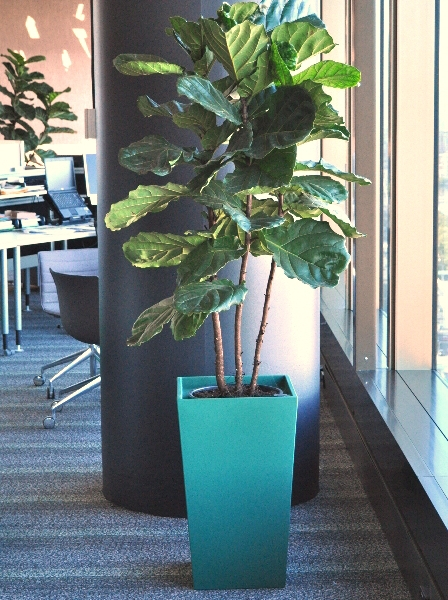 Showing a blue Urban wedge with Ficus lyrata