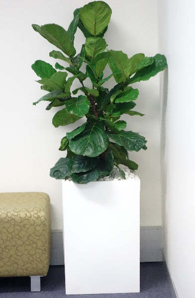 Showing a white Urban Cube with a Ficus lyrata.
