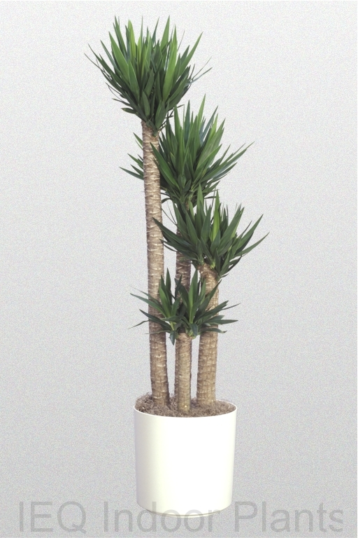 Showing a Yucca elephantipes in a white pot.