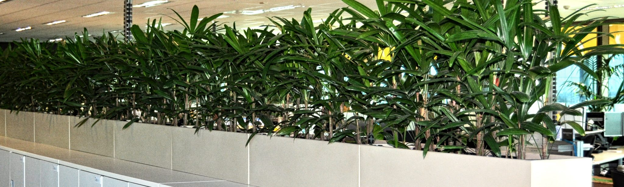 Showing seven bone coloured Urban 8 troughs with Rhapis Palms sitting on a row of cabinets.